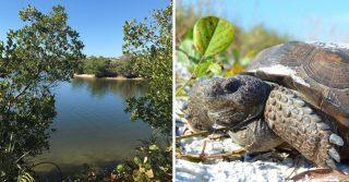 Alligator Spotting: Lovers Key State Park
