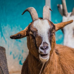 A Gin Martini Townhouse Filled With Pygmy Goats Is Coming, We Kid You Not!